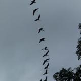 Geese, in Cumbria