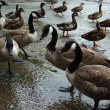 geese keswick