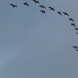 Canada geese, probably