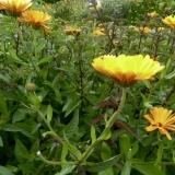Herb garden calendula